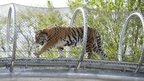 Tiger walking in tunnel