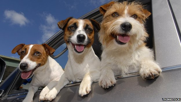Jack Russell dogs leaning out of a car window