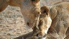 Lions in the Ewaso Nyiro area of northern Kenya (c) Shivani Bhalla