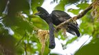 Long-wattled Umbrellabird (c) Murray Cooper