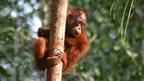 Juvenile orangutan climbing tree (c) Melvin Gumal