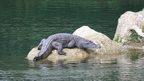 Philippine crocodile in Disulap River crocodile sanctuary (c) Tess Gatan-Balbas