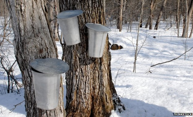 Buckets hanging on tree trunks