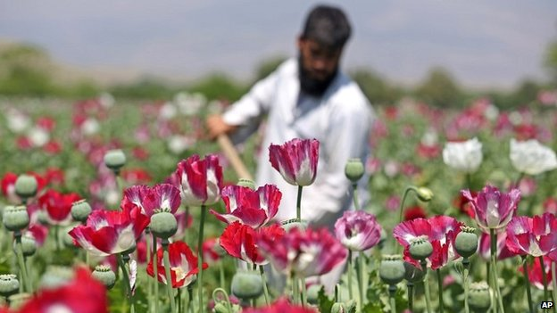 An Afghan farmer works on a poppy field in Jalalabad, Afghanistan - 17 April 2014
