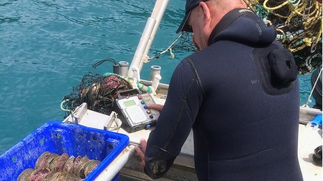 A fisherman weighs a catch of abalone