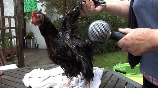 Hen being blow-dried