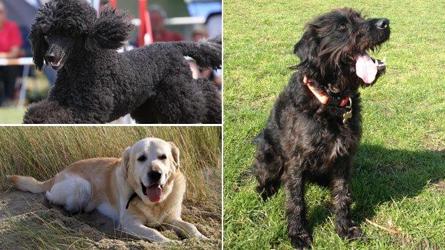 Poodle, Labrador and Labradoodle
