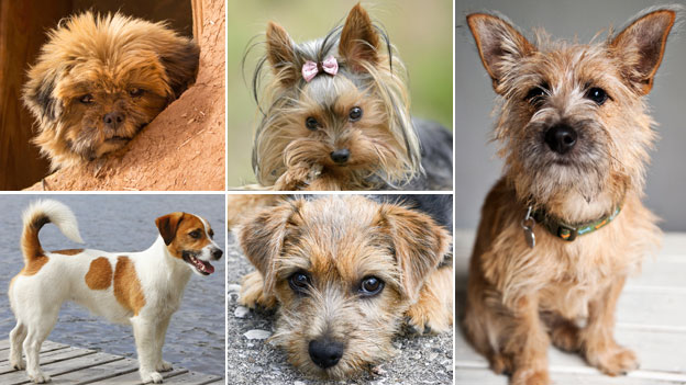 Affenpinscher + Yorkie + Jack Russell + Yorkshire terrier and the dog resulting from the mix