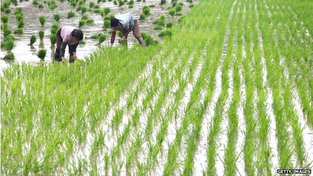 Chinese farmers planting rice