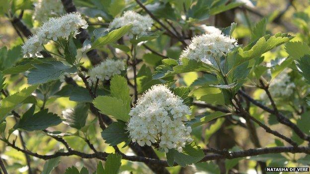Ley's Whitebeam (Sorbus leyana)