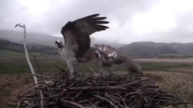 Webcam image of Cors Dyfi ospreys