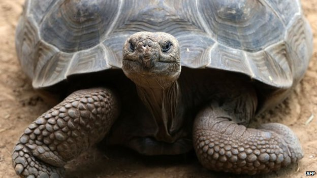 A Galapagos giant tortoise is pictured on May 13, 2014.