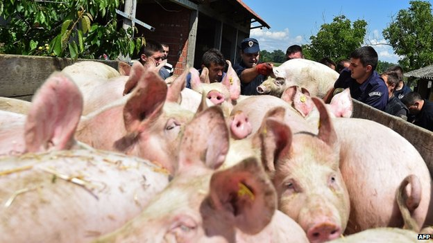 Police officers help villagers evacuate pigs from a farm in Sremska Raca, Serbia, on 18 May 2014.