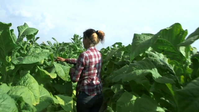 A girl tending to tobacco crops