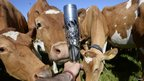 A outstretched arm holding the Queen's Baton as inquisitive cows approach it