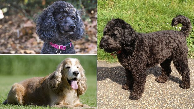 poodle, cocker spaniel and cockapoo