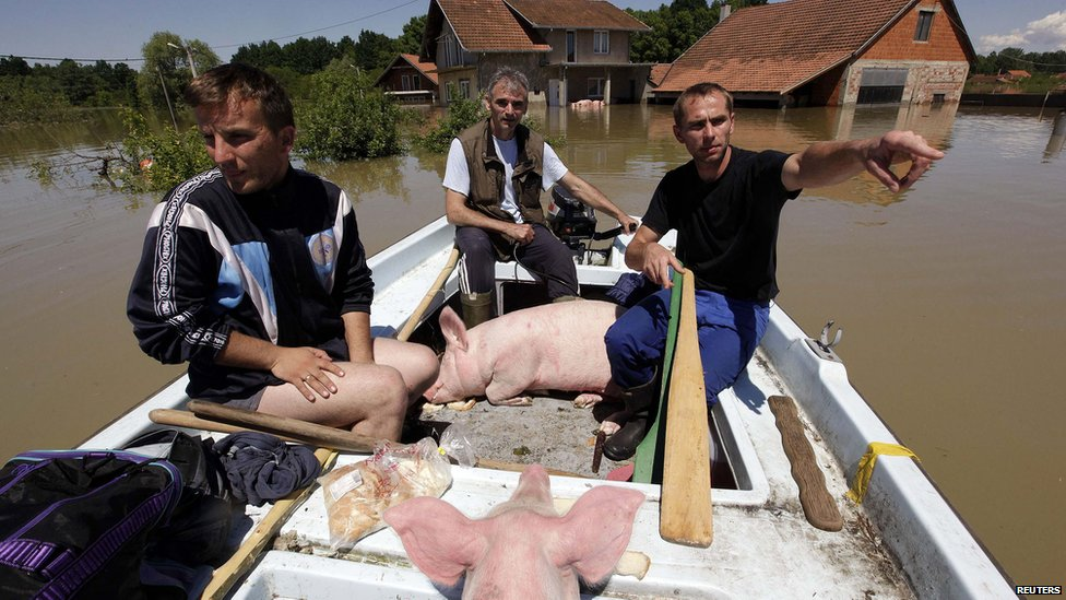 Boat carrying rescued pigs during heavy floods in Vojskova, Bosnia. 19 May 2014