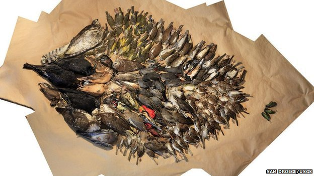 Birds collected after window strikes in Washington DC during 2013