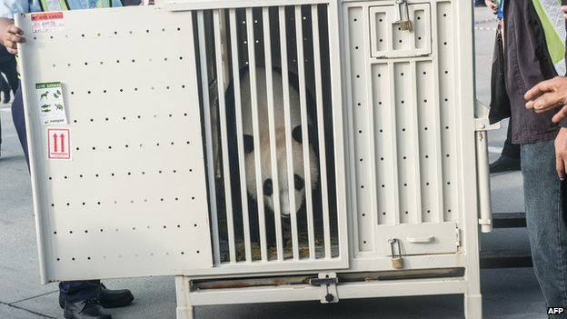 Feng Yi , one of two giant pandas on loan from China, is seen from its cage upon its arrival from China at MASkargo near Kuala Lumpur International Airport (KLIA) in Sepang on 21 May