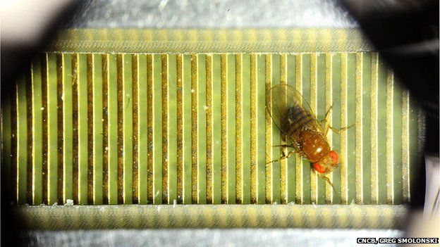 Fruit fly in experimental chamber