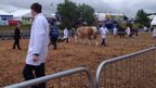 Cattle at the showground