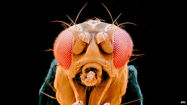 Fruit fly, Drosophila