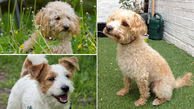 poodle, parsons jack Russell and jackadoodle