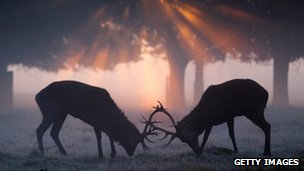 Rutting stags in Richmond Park, London