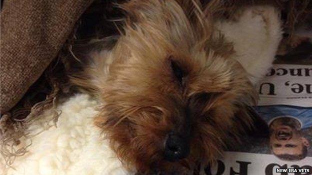 Injured Yorkshire Terrier
