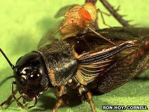Parasitoid fly and its cricket host