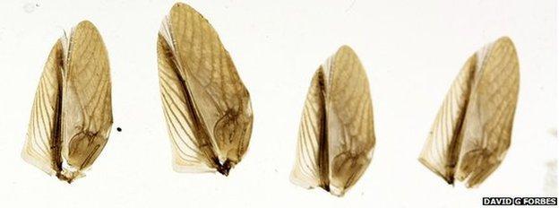 cricket wings