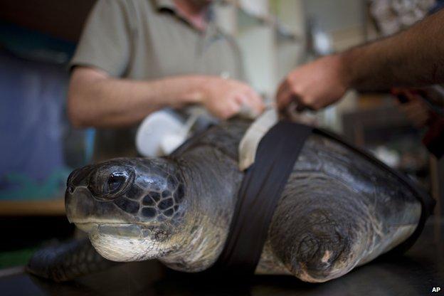 Sea turtle Hofesh