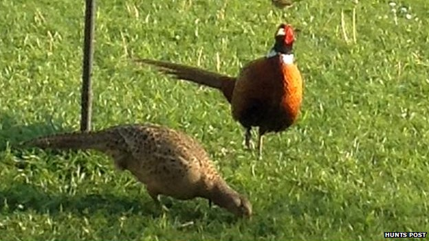 Pheasants at Wood Farm