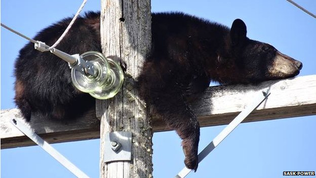 Bear sleeping atop an electricity pole