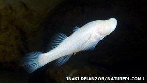 Cave-dwelling fish