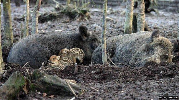 A family of wild boar