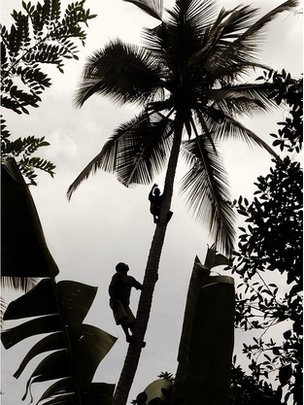 Men harvested coconuts (Image: BBC)