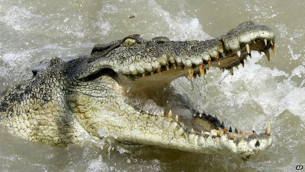 A large saltwater crocodile shows aggression as a boat passes by on the Adelaide river in Australia's Northern Territory
