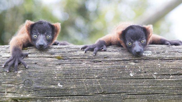 Red ruffed lemurs Sirius and Remus