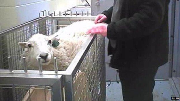 Sheep at Cambridge University