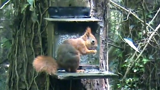 Red Squirrel at feeding station in Anglesey woods