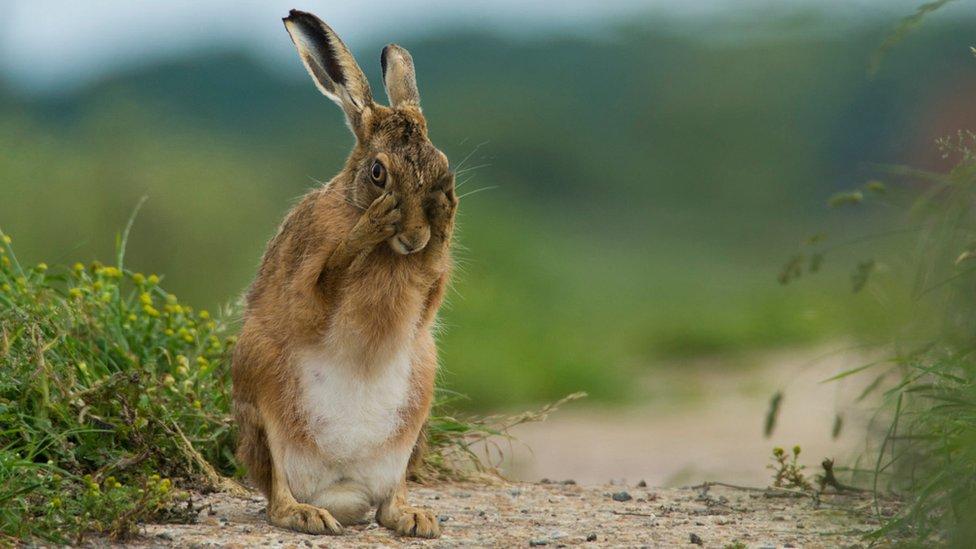 Brown hare (c) Carl Allen