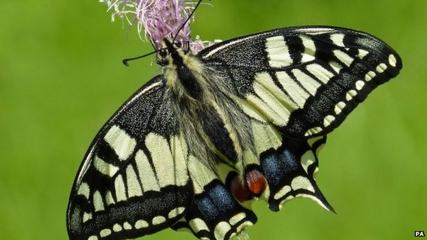 Continental swallowtail