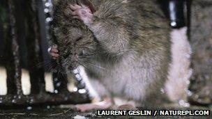 Brown rat grooming