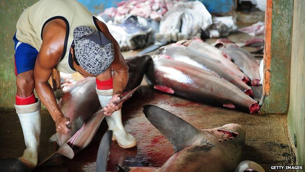 A worker cuts the shark fins at Muncar Port on 25 May, 2014 in Banyuwangi, Indonesia