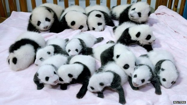 Giant panda cubs lie in a crib at Chengdu Research Base of Giant Panda Breeding in Chengdu, Sichuan province, September 23, 2013
