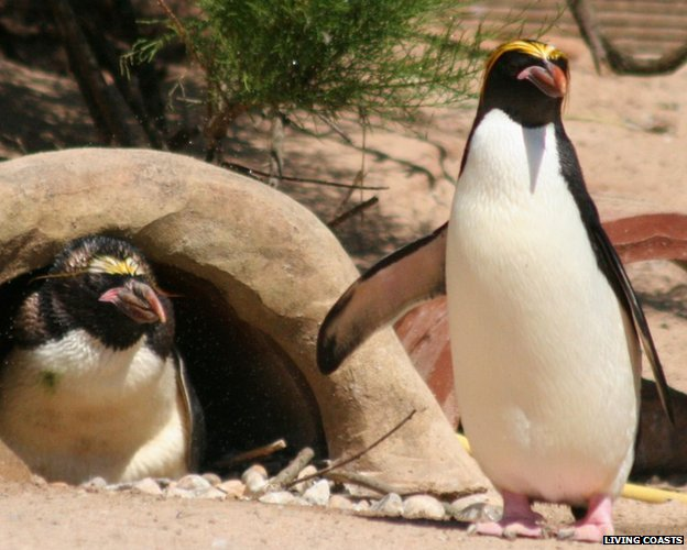 Penguins at Living Coasts. Pic: Living Coasts