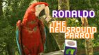 Ronaldo the Newsround parrot