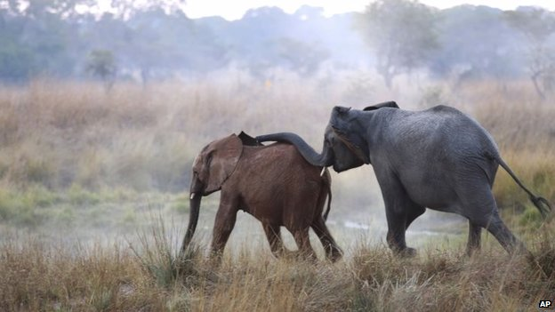 An orphaned elephant calf (left) is introduced to an adult at the Game Rangers International Release Facility at the Kafue National Park in Zambia, 10 June 2014