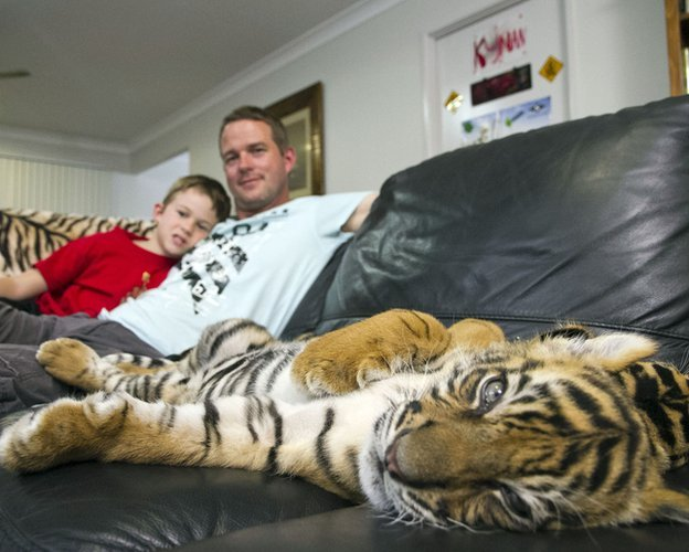 Tiger cub lying on Giles Clark's sofa